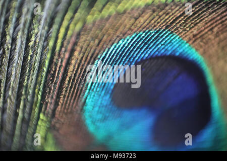 A close up of a peacock feather from an Indian Peacock. Male peafowl are known for their piercing call and their extravagant plumage. - Stock Photo