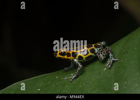 Mimic poison frog (Ranitomeya imitator) on a leaf at night, it is a mullerian mimic of R. variabilis. Both species are toxic & gain shared protection. - Stock Photo