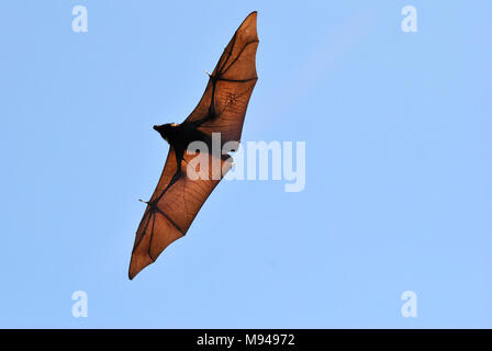 Black flying fox (Pteropus alecto) with spread wings in the air in Queensland, Australia. - Stock Photo