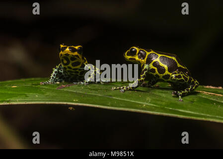 Ranitomeya imitator is the only frog known to be genetically monogamous. It is also a mullerian mimic of R. variabilis, a sympatric poison frog specie. - Stock Photo