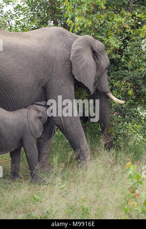African Elephant (Loxodonta africana). Cow and calf feeding. Adult female mother of calf, browsing on lower story vegetation whilst her baby suckles f - Stock Photo