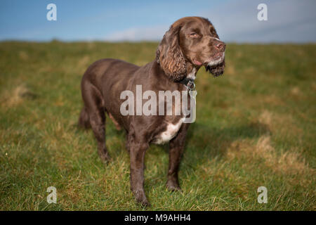 A dog portrait of a pedigree chocolate brown working cocker spaniel standing in a green field with blue sky. - Stock Photo