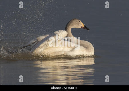 Bewicks Swan juvenile bathing - Stock Photo