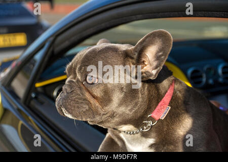Southport, Merseyside, UK 25th March 2018.  UK Weather. Bright sunshine for Nort-West Supercar event as hundreds of cars and tourists arrive in the coastal resort on a warm spring day. Vogue a French Bulldog, also known as the Frenchie, a small breed of domestic dog enjoying the journey. Cars are bumper to bumper on the seafront esplanade as classic & vintage car enthusiasts take advantage of warm weather for a motoring day out. - Stock Photo