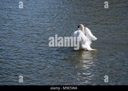 white mute swan stretching its wings on a summers day on water - Stock Photo