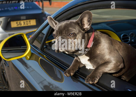 Southport, Merseyside, UK 25th March 2018.  UK Weather. Bright sunshine for Nort-West Supercar event as hundreds of cars and tourists arrive in the coastal resort on a warm spring day. Vogue a French Bulldog, also known as the Frenchie, a small breed of domestic dog enjoying the journey. Cars are bumper to bumper on the seafront esplanade as classic & vintage car enthusiasts take advantage of warm weather for a motoring day out. Credit: MediaWorldImages/Alamy Live News. - Stock Photo