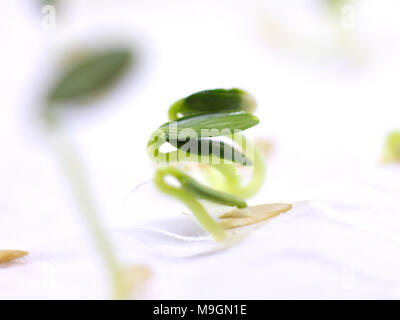 Sprouted cucumber seed isolated on the white background - Stock Photo
