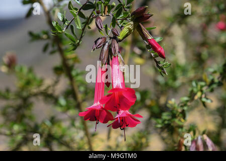 Peruvian Red Orchid Flower - Stock Photo
