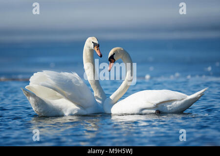 Romantic couple of swans on the lake. Swan reflection in water - Stock Photo