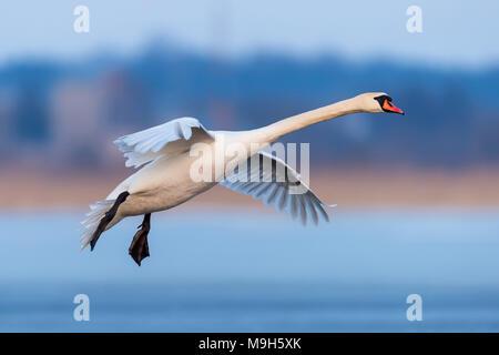 Mute swan, Cygnus olor, single bird in flight at evening - Stock Photo