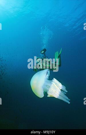 Barrel jellyfish, Frilly-mouthed jellyfish (Rhizostoma pulmo). Benidorm, Costa Blanca, Spain, Europe, Mediterranean sea - Stock Photo