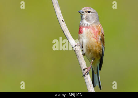 Male carduelis cannabina or pardillo comun with copy space for text - Stock Photo
