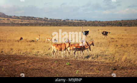 Small herd of Hartebeest (Alcelaphus buselaphus) with two ostriches in background. Amboseli National Park, Kenya - Stock Photo