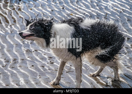 Wet dogs at the beach - Stock Photo