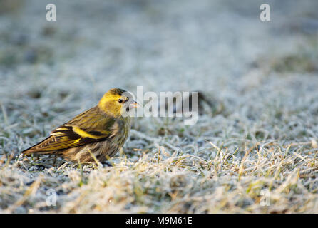 Siskin (Carduelis spinus) sits on the frosted grass in the morning and searches for seeds. Spring, March in Poland. Horizontal view. - Stock Photo