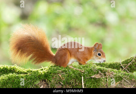 Red Squirrel (Sciurus vulgaris). Adult on a mossy log. Germany - Stock Photo