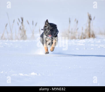 german shepherd playing in the snow - Stock Photo