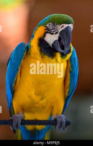 Blue and yellow macaw (Ara ararauna) sits on bar, captive, - Stock Photo