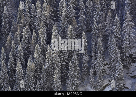Norway Spruce (Picea abies), snow-covered coniferous forest in winter, Aosta Valley, Italy - Stock Photo