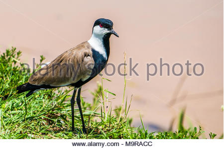 Blacksmith lapwing or plover stands by the bank of a stream - Stock Photo