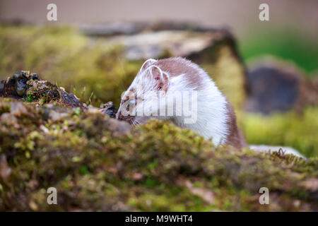 The stoat, also known as the short-tailed weasel or simply the weasel in Ireland where the least weasel does not occur, is a mammal. - Stock Photo