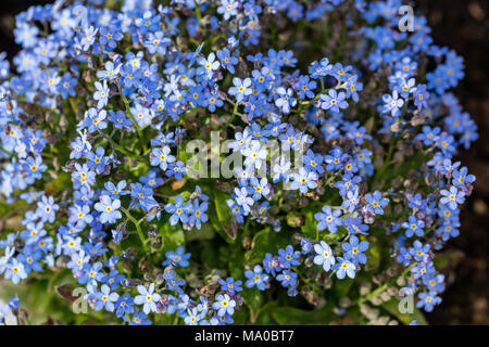 Alpine forget-me-not, Alpförgätmigej (Myosotis alpestris) - Stock Photo
