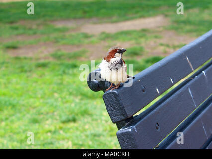 House sparrow sitting on a bench in a park - Stock Photo