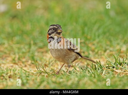 Rufous-collared Sparrow (Zonotrichia capensis) adult feeding on the ground  Puembo, Ecuador            February - Stock Photo