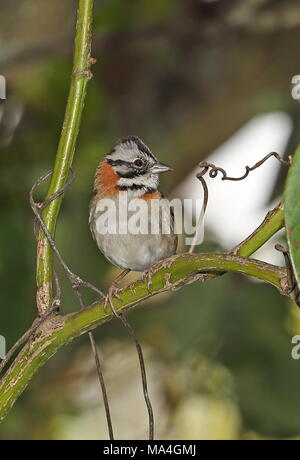 Rufous-collared Sparrow (Zonotrichia capensis) adult perched on stem  Puembo, Ecuador            February - Stock Photo