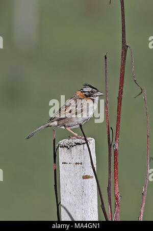 Rufous-collared Sparrow (Zonotrichia capensis) adult perched on post  Antisana, Ecuador            February - Stock Photo