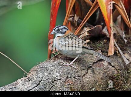 Rufous-collared Sparrow (Zonotrichia capensis) adult perched on branch  Vinicio Birdwatcher's House, Nono-Mindo Road, Ecuador            February - Stock Photo