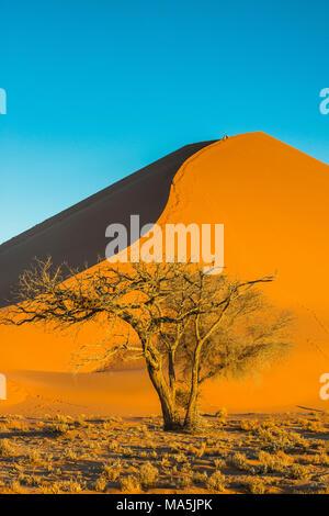 Acacia tree before the  giant sand Dune 45, Namib-Naukluft National Park, Namibia - Stock Photo