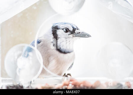 Macro closeup of one blue jay, Cyanocitta cristata, bird sitting perched on plastic glass window feeder during heavy winter snow colorful in Virginia, - Stock Photo