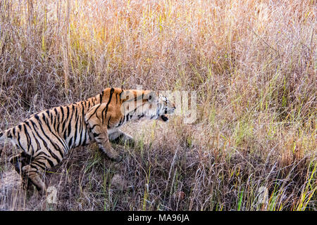 Wild Bengal Tiger, Panthera tigris tigris, snarling, attacking in Bandhavgarh Tiger Reserve, Madhya Pradesh, India - Stock Photo