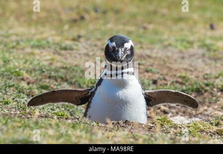 Magellanic Penguin at the nest - Stock Photo