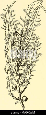 . Ecological animal geography; an authorized, rewritten edition based on Tiergeographie auf ockologischer grundlage . Fig. 62.—Floating piece of sarga?- sum, covered with the hydroids Aqlao- phenia and Clytia, the bryozoan Mem- branipora, and the tube building worm Spirorbis. After Hentschel. - Stock Photo