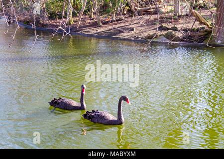 A pair of black swans (cygnus atratus) swimming in the pond in St.Jame's Park, London UK together forever friends besties connection - Stock Photo