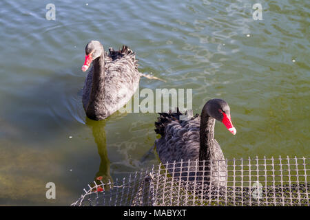 A pair of black swans (cygnus atratus) swimming in the pond in St.Jame's Park, London UK friends family brothers, nature, couple together connected - Stock Photo