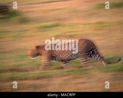 slow pan image of young adult male leopard (Panthera pardus) walking in early morning light in the  Masai Mara Conservancies,Kenya,Africa - Stock Photo
