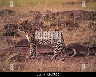fine young adult male leopard (Panthera pardus) in early morning light in the  Masai Mara Conservancies,Kenya,Africa - Stock Photo