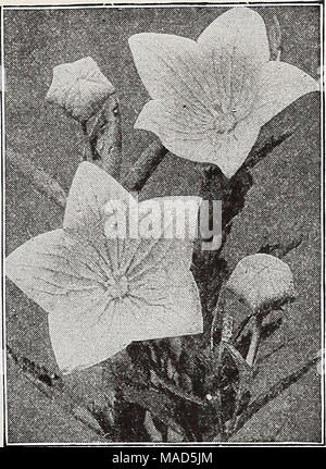 . Dreer's wholesale catalog for florists : autumn 1938 edition . Platycodon grandiflorum Platycodon—Japanese Bellflower Per doz. Per 100 Grandiflorum, Blue. Two-year-old roots $1 50 $10 00 — vriiite. Two-vear-old roots 1 50 10 00 Plumbago—Leadwort Ijarpent^e. Strong plants. Primula—Primroses Cashjueriana Veris (English Cowslip) Vulgaris (English Primrose). 2 00 12 00 3 00 20 00 2 00 12 00 2 00 12 00 Pulmonaria—Lungwort Angustifolia azurea. Low-growing tufts of dark green foliage and deep sky blue flower spikes in early spring. $3.50 per doz.; $25.00 per 100. /Tv^l! ^.'^x^ n - Stock Photo
