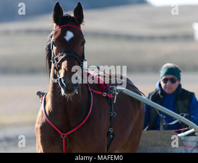 Ontario Standardbreds all tacked up for a run around the track on a bright Saturday morning in Delaware Ontario, Canada. - Stock Photo