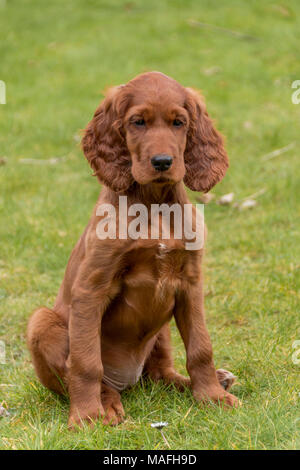 Portrait of a Red Setter / Irish Setter puppy playing in a domestic back garden on grass - Stock Photo
