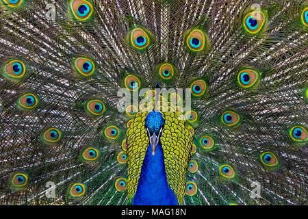 Male Peacock Strutting - Stock Photo