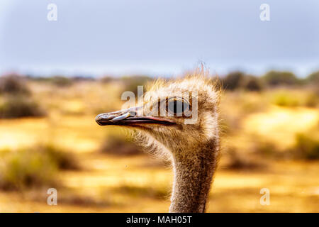 Close up of an Ostrich Head at an Ostrich Farm in Oudtshoorn in the semi desert Little Karoo Region Western Cape Province of South Africa - Stock Photo