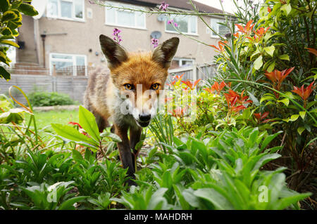 Red fox standing in the garden with flowers near house in a suburb of London, summer in UK. - Stock Photo