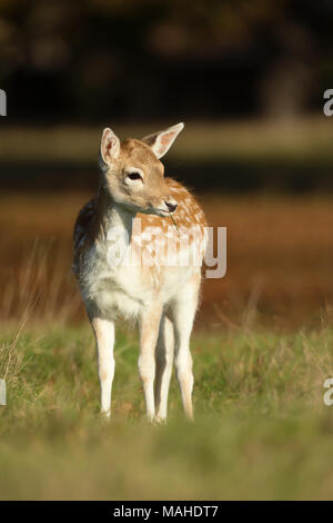 Close-up of a Fallow deer fawn foraging in the field of grass, UK. - Stock Photo