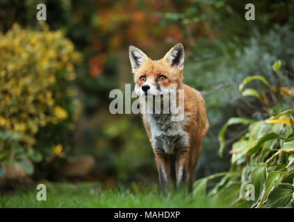 Red fox standing in the garden with flowers, summer in UK. - Stock Photo