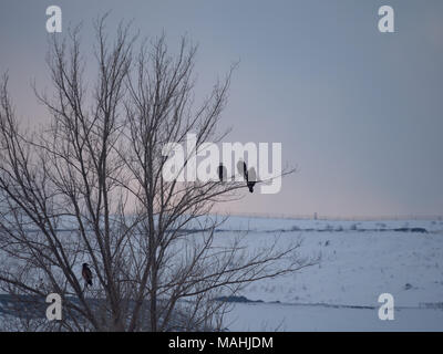 Four bald eagles with two adults and two juveniles perched in a bare tree with a snowy field in the background. Image has copy space. - Stock Photo