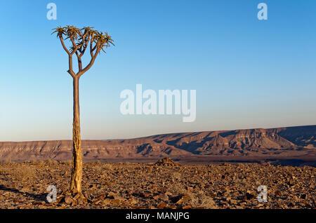 Young quiver tree or kokerboom (Aloe dichotoma) at Fish River Canyon at sunrise, Ai-Ais Richtersveld Transfrontier Park, Karas Region, Namibia, Africa - Stock Photo
